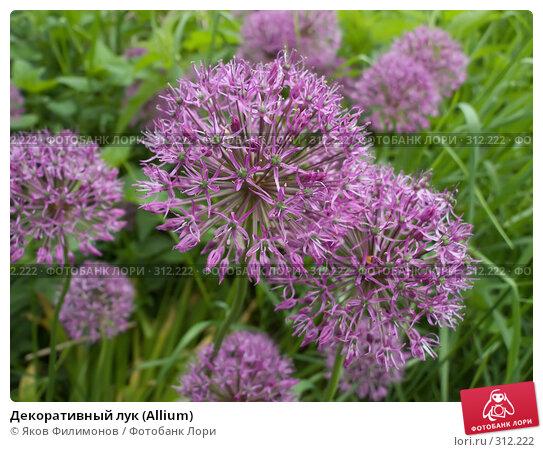Купить «Декоративный лук (Allium)», фото № 312222, снято 30 мая 2008 г. (c) Яков Филимонов / Фотобанк Лори