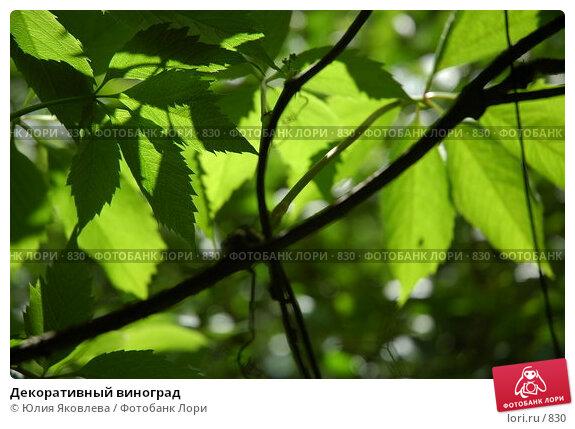 Декоративный виноград, фото № 830, снято 3 июня 2005 г. (c) Юлия Яковлева / Фотобанк Лори