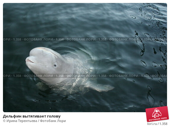 Дельфин вытягивает голову, эксклюзивное фото № 1358, снято 15 сентября 2005 г. (c) Ирина Терентьева / Фотобанк Лори