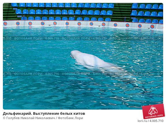 Дельфинарий. Выступление белых китов. Стоковое фото, фотограф Голубев Николай Николаевич / Фотобанк Лори