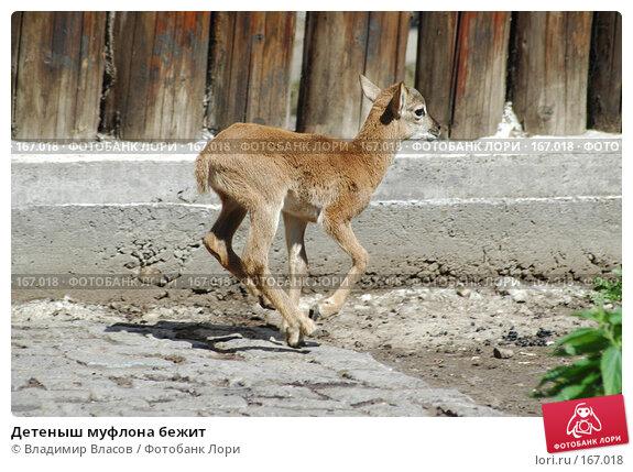 Детеныш муфлона бежит, фото № 167018, снято 9 июня 2005 г. (c) Владимир Власов / Фотобанк Лори