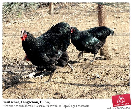Deutsches, Langschan, Huhn, Стоковое фото, фотограф Zoonar.com/Manfred Ruckszio / age Fotostock / Фотобанк Лори