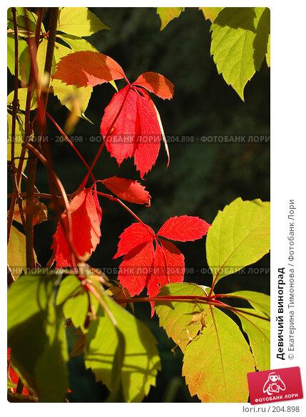Девичий виноград, фото № 204898, снято 7 сентября 2007 г. (c) Екатерина Тимонова / Фотобанк Лори