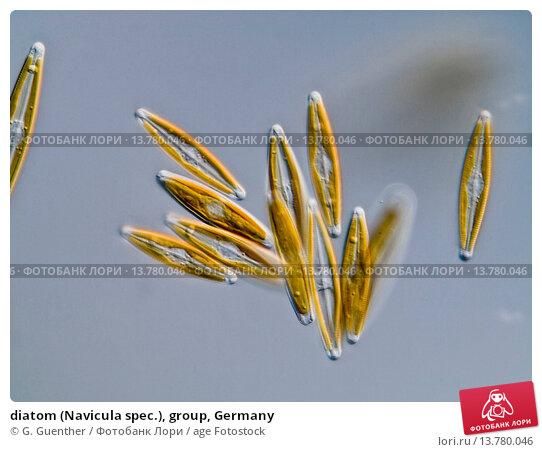 Купить «diatom (Navicula spec.), group, Germany», фото № 13780046, снято 5 марта 2019 г. (c) age Fotostock / Фотобанк Лори