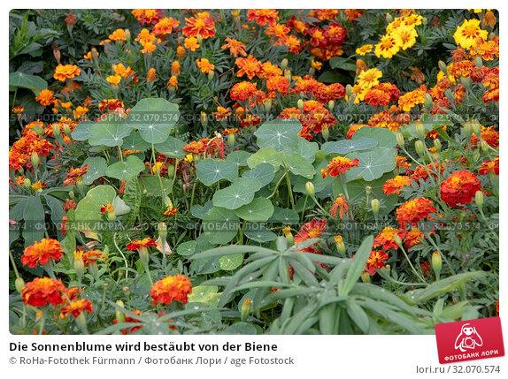 Die Sonnenblume wird bestäubt von der Biene. Стоковое фото, фотограф RoHa-Fotothek Fürmann / age Fotostock / Фотобанк Лори