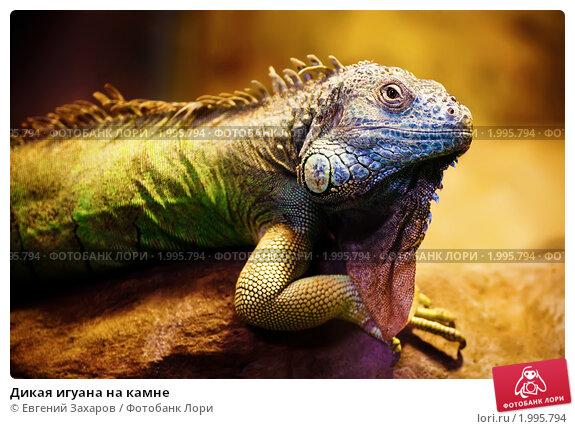 Купить «Дикая игуана на камне», фото № 1995794, снято 3 октября 2009 г. (c) Евгений Захаров / Фотобанк Лори