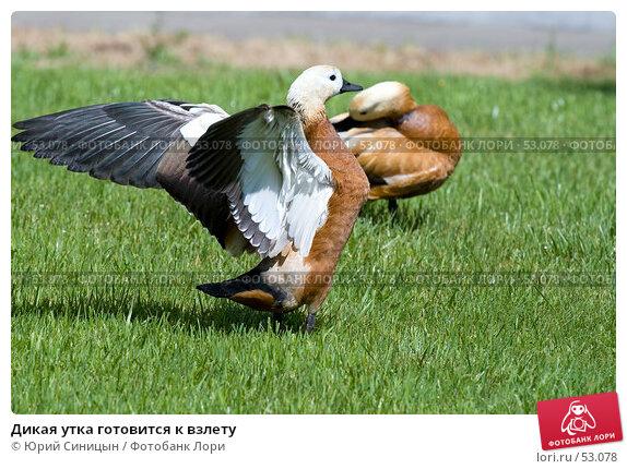 Дикая утка готовится к взлету, фото № 53078, снято 12 июня 2007 г. (c) Юрий Синицын / Фотобанк Лори