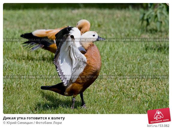 Дикая утка готовится к взлету, фото № 53082, снято 12 июня 2007 г. (c) Юрий Синицын / Фотобанк Лори