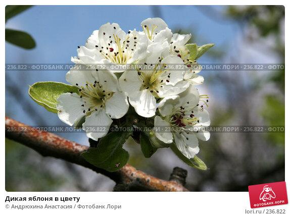 Купить «Дикая яблоня в цвету», фото № 236822, снято 14 мая 2006 г. (c) Андрюхина Анастасия / Фотобанк Лори