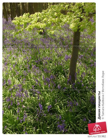 Дикие гиацинты, фото № 33982, снято 18 апреля 2007 г. (c) Tamara Kulikova / Фотобанк Лори
