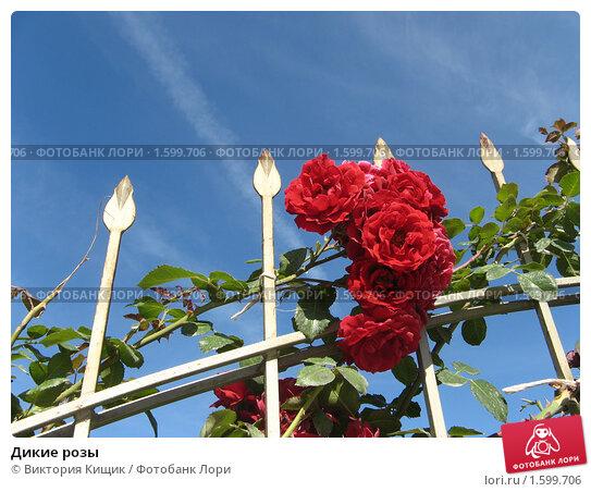 Дикие розы. Стоковое фото, фотограф Виктория Кищик / Фотобанк Лори