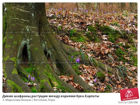 Дикие шафраны,растущие между корнями бука.Карпаты, фото № 236046, снято 16 марта 2008 г. (c) Мирослава Безман / Фотобанк Лори
