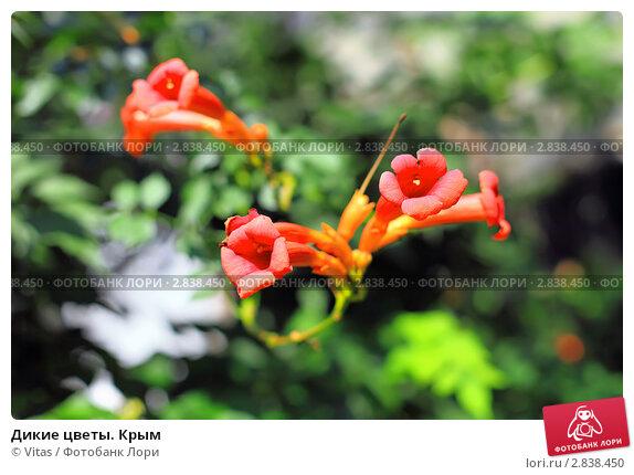 Дикие цветы. Крым. Стоковое фото, фотограф Vitas / Фотобанк Лори