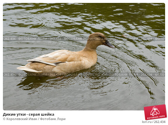 Дикие утки - серая шейка, фото № 262434, снято 20 апреля 2008 г. (c) Королевский Иван / Фотобанк Лори