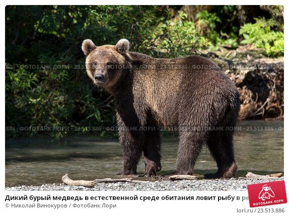 Купить «Дикий бурый медведь в естественной среде обитания ловит рыбу в реке во время нереста лососевых», фото № 23513886, снято 2 сентября 2016 г. (c) Николай Винокуров / Фотобанк Лори