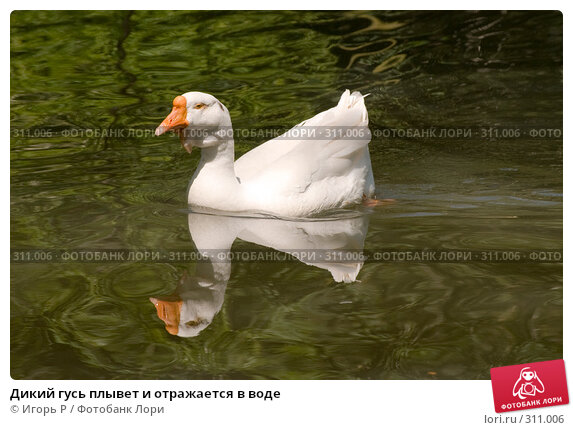 Дикий гусь плывет и отражается в воде, фото № 311006, снято 31 мая 2008 г. (c) Игорь Р / Фотобанк Лори