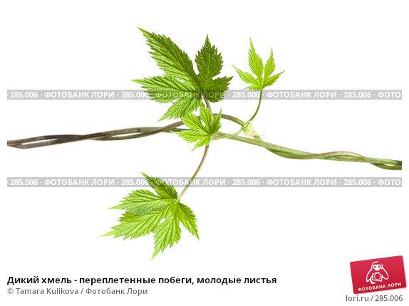 Купить «Дикий хмель - переплетенные побеги, молодые листья», фото № 285006, снято 13 мая 2008 г. (c) Tamara Kulikova / Фотобанк Лори