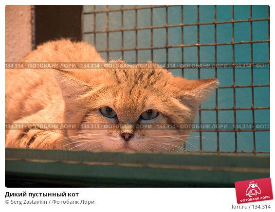 Купить «Дикий пустынный кот», фото № 134314, снято 10 октября 2004 г. (c) Serg Zastavkin / Фотобанк Лори