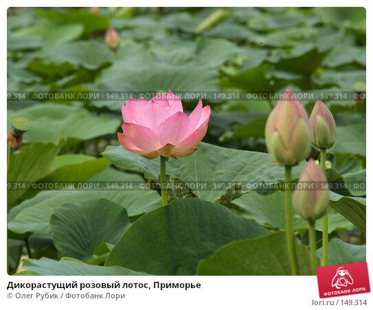 Дикорастущий розовый лотос, Приморье, фото № 149314, снято 4 августа 2007 г. (c) Олег Рубик / Фотобанк Лори