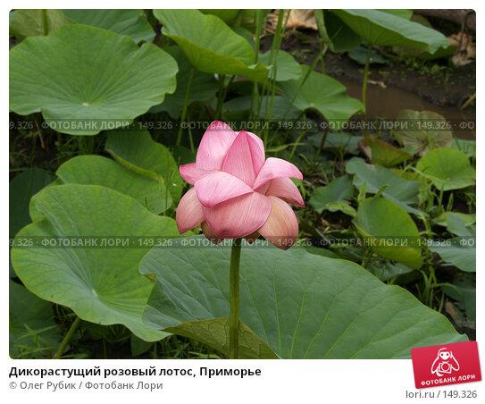 Дикорастущий розовый лотос, Приморье, фото № 149326, снято 4 августа 2007 г. (c) Олег Рубик / Фотобанк Лори