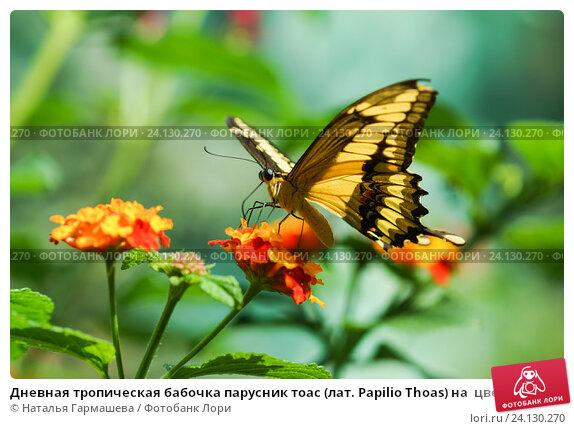 Купить «Дневная тропическая бабочка парусник тоас (лат. Papilio Thoas) на  цветке лантаны  (лат. Lantana)», фото № 24130270, снято 18 сентября 2012 г. (c) Наталья Гармашева / Фотобанк Лори