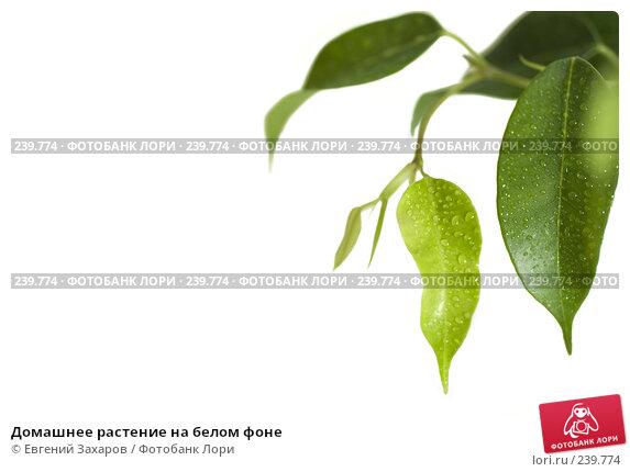 Домашнее растение на белом фоне, эксклюзивное фото № 239774, снято 2 марта 2008 г. (c) Евгений Захаров / Фотобанк Лори
