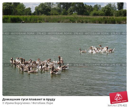 Домашние гуси плавают в пруду, фото № 270422, снято 20 июня 2007 г. (c) Ирина Борсученко / Фотобанк Лори