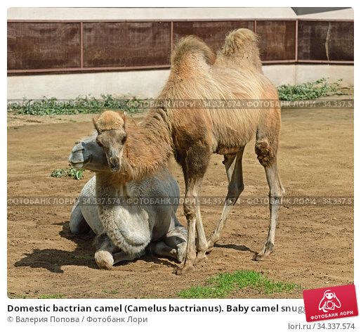 Domestic bactrian camel (Camelus bactrianus). Baby camel snuggles up to his mother. Стоковое фото, фотограф Валерия Попова / Фотобанк Лори