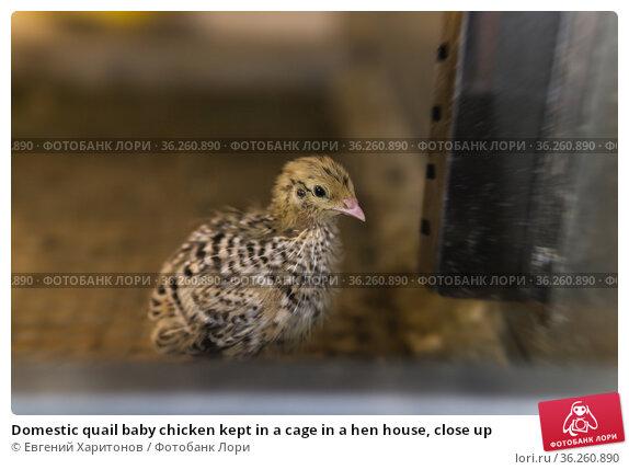 Domestic quail baby chicken kept in a cage in a hen house, close up. Стоковое фото, фотограф Евгений Харитонов / Фотобанк Лори