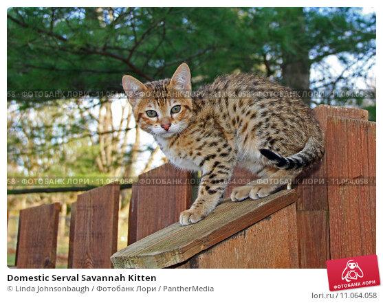 Купить «Domestic Serval Savannah Kitten», фото № 11064058, снято 15 сентября 2019 г. (c) PantherMedia / Фотобанк Лори