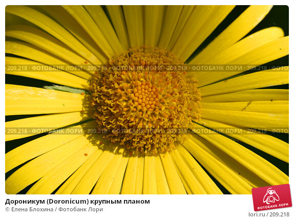 Купить «Дороникум (Doronicum) крупным планом», фото № 209218, снято 21 мая 2007 г. (c) Елена Блохина / Фотобанк Лори