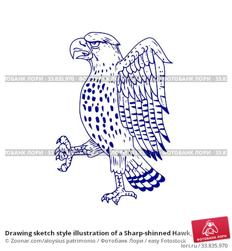 Купить «Drawing sketch style illustration of a Sharp-shinned Hawk, a medium-sized diurnal bird of prey of family Accipitridae marching side view on isolated background.», фото № 33835970, снято 30 мая 2020 г. (c) easy Fotostock / Фотобанк Лори