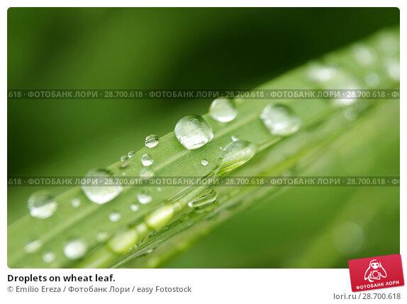 Купить «Droplets on wheat leaf.», фото № 28700618, снято 8 мая 2018 г. (c) easy Fotostock / Фотобанк Лори