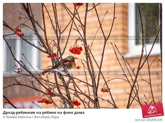Купить «Дрозд-рябинник на рябине на фоне дома», фото № 29875570, снято 26 января 2019 г. (c) Natalya Sidorova / Фотобанк Лори
