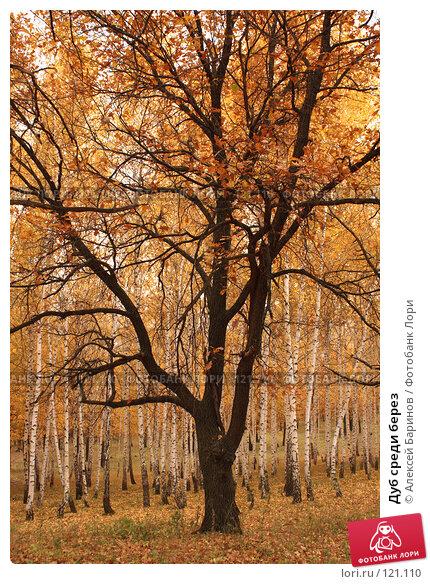 Купить «Дуб среди берез», фото № 121110, снято 14 октября 2007 г. (c) Алексей Баринов / Фотобанк Лори