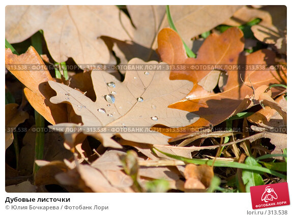 Дубовые листочки, фото № 313538, снято 20 сентября 2005 г. (c) Юлия Бочкарева / Фотобанк Лори