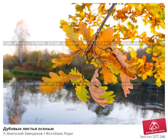 Дубовые листья осенью, фото № 277246, снято 17 октября 2006 г. (c) Анатолий Заводсков / Фотобанк Лори