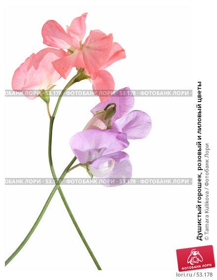 Душистый горошек, розовый и лиловый цветы, фото № 53178, снято 17 июня 2007 г. (c) Tamara Kulikova / Фотобанк Лори