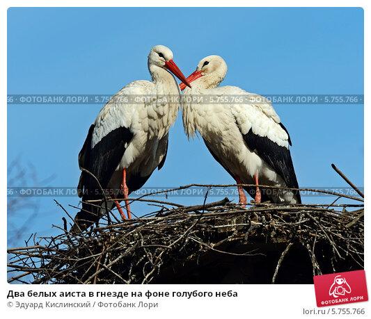 Купить «Два белых аиста в гнезде на фоне голубого неба», фото № 5755766, снято 7 января 2012 г. (c) Эдуард Кислинский / Фотобанк Лори