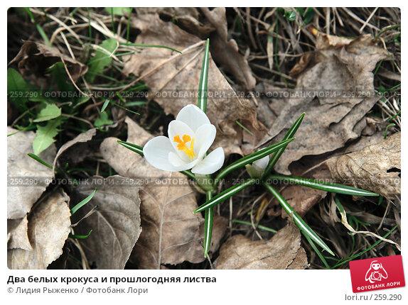 Купить «Два белых крокуса и прошлогодняя листва», фото № 259290, снято 11 апреля 2008 г. (c) Лидия Рыженко / Фотобанк Лори