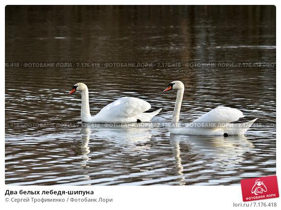 Купить «Два белых лебедя-шипуна», фото № 7176418, снято 21 января 2014 г. (c) Сергей Трофименко / Фотобанк Лори