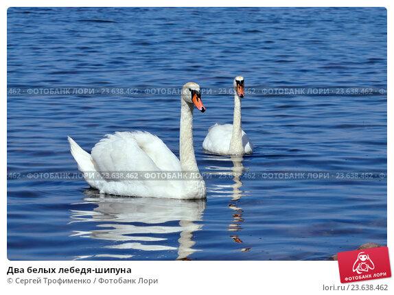 Купить «Два белых лебедя-шипуна», фото № 23638462, снято 1 июля 2016 г. (c) Сергей Трофименко / Фотобанк Лори