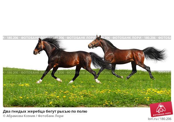 Два гнедых жеребца бегут рысью по полю, фото № 180206, снято 28 апреля 2007 г. (c) Абрамова Ксения / Фотобанк Лори