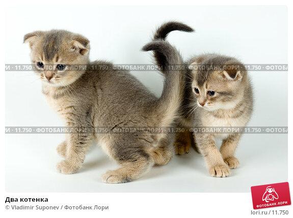 Два котенка, фото № 11750, снято 27 ноября 2005 г. (c) Vladimir Suponev / Фотобанк Лори