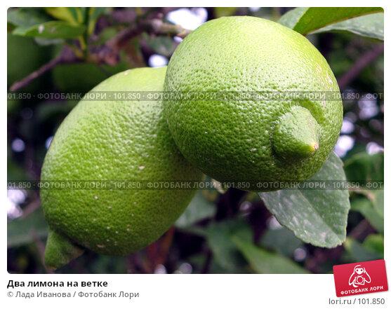 Два лимона на ветке, фото № 101850, снято 15 октября 2007 г. (c) Лада Иванова / Фотобанк Лори