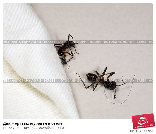 Два мертвых муравья в отеле, фото № 167554, снято 24 июня 2017 г. (c) Парушин Евгений / Фотобанк Лори