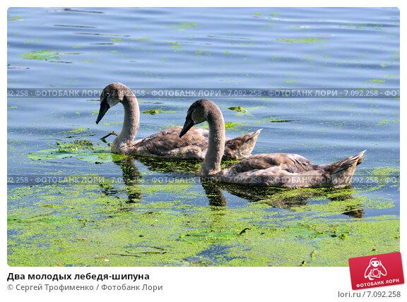 Купить «Два молодых лебедя-шипуна», фото № 7092258, снято 21 января 2014 г. (c) Сергей Трофименко / Фотобанк Лори