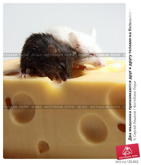 Два мышонка прижимаются друг к другу телами на большом куске сыра, фото № 28662, снято 18 марта 2007 г. (c) Сергей Лешков / Фотобанк Лори