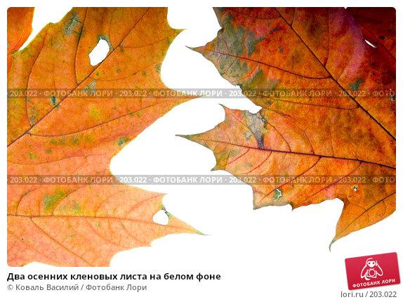 Два осенних кленовых листа на белом фоне, фото № 203022, снято 25 октября 2007 г. (c) Коваль Василий / Фотобанк Лори