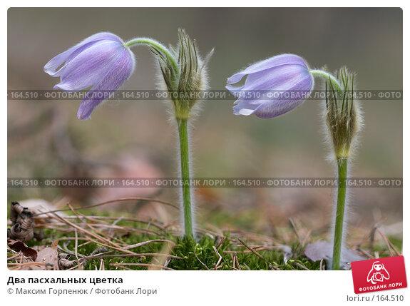 Два пасхальных цветка, фото № 164510, снято 1 апреля 2007 г. (c) Максим Горпенюк / Фотобанк Лори